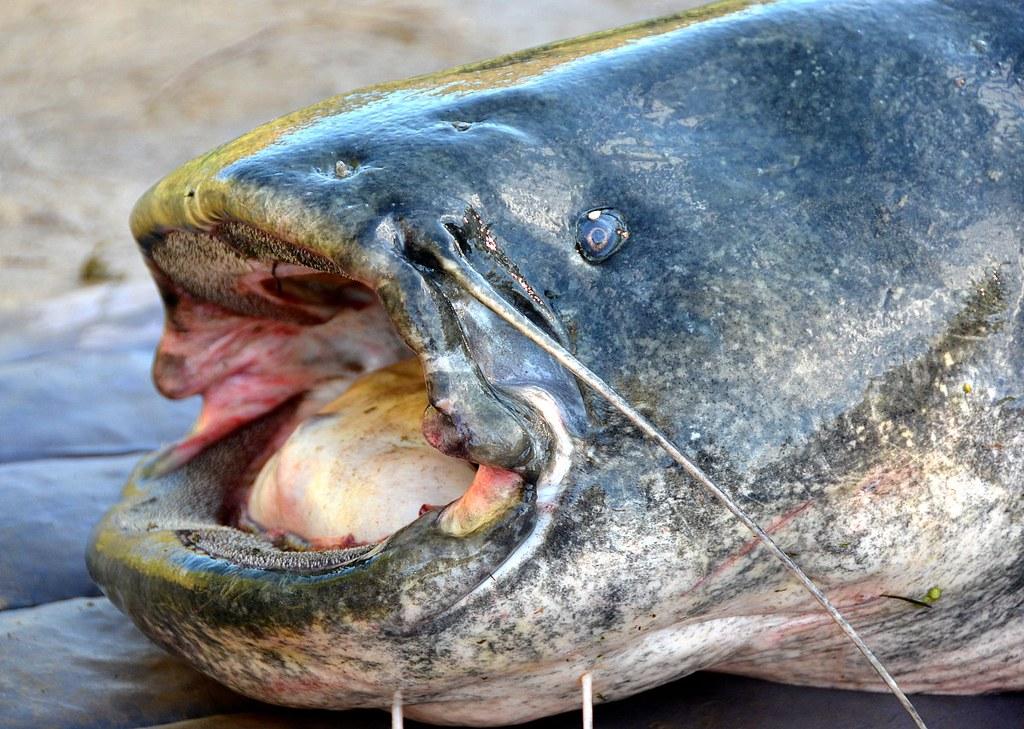 В центре Калининграда рыбак поймал огромного сома весом около центнера
