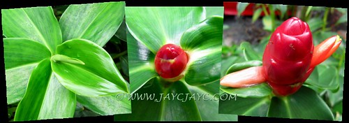 Costus woodsonii: unfolding leaf, red button bud and vibrant bracts/flowers