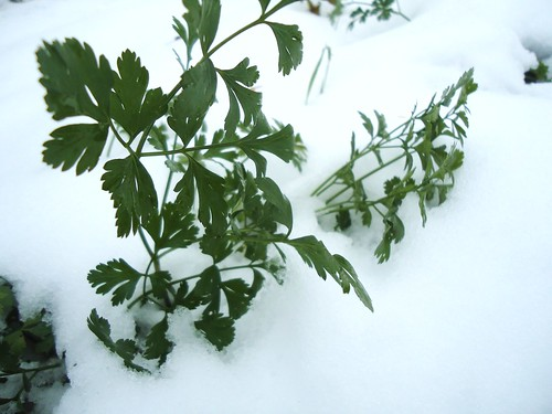 cold hardy parsley