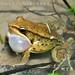 柯丁誌_腹斑蛙雄蛙有一對外鳴囊,叫聲響亮