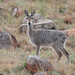 Grey Rhebok - Photo (c) Wildlife Wanderer, some rights reserved (CC BY-NC-ND)