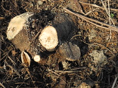 移除不久的銀合歡樹幹(右)又長出萌蘗。