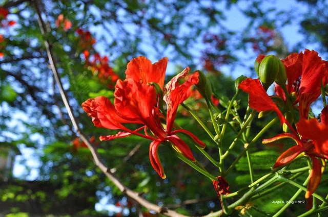 Flores de flamboyant II