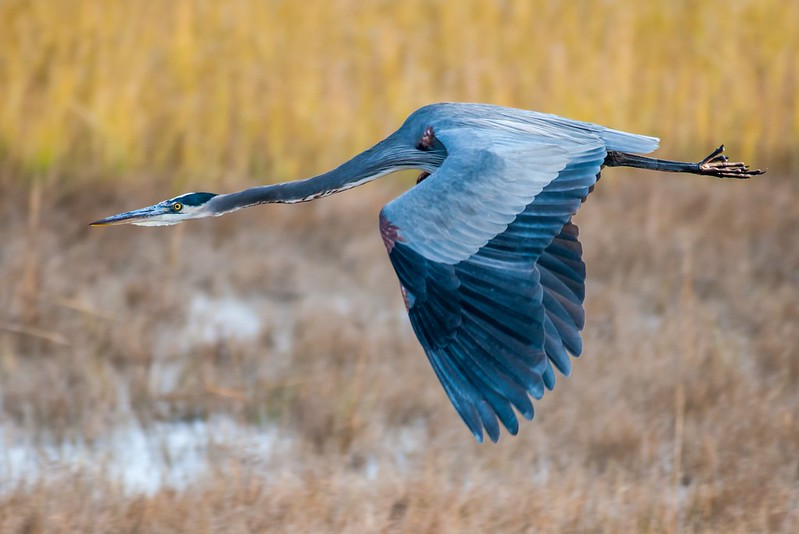 Great Blue Heron in flight 11/14-1