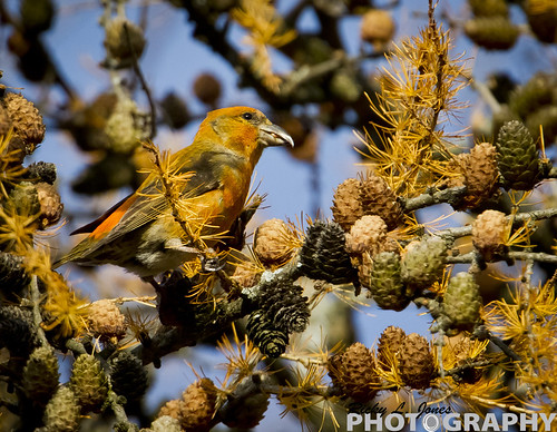 Male Red Crossbill by Ricky L. Jones Photography