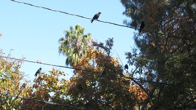 IMG_3201 crows backyard persimmon