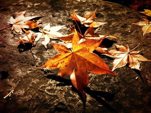 [フリー画像素材] 花・植物, 葉っぱ, カエデ・モミジ, 紅葉・黄葉 ID:201212010600