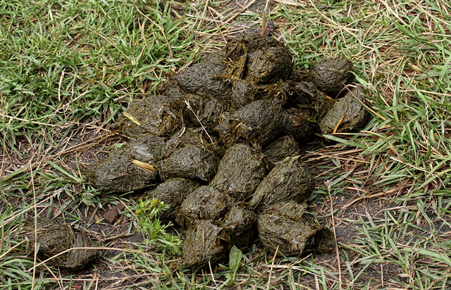 Grizzly bear scat - photo#3