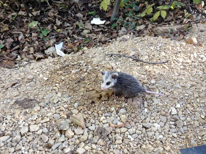 273 baby possum