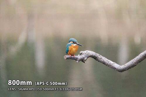 カワセミ500mm