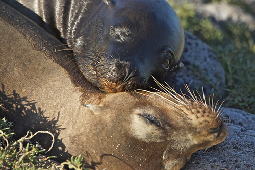 Sea Lion Cuddle, Galapagos