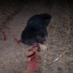Illegally killed black bear found in the Avoyelles Parish 1