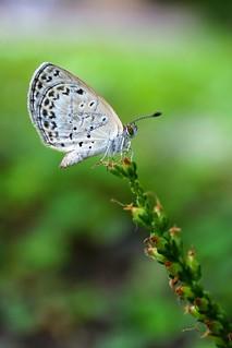 站在都市常見野草「車前草」上的沖繩小灰蝶。  王力平攝