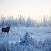 Moose in the great white North by bri~
