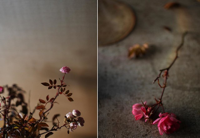 december_roses3