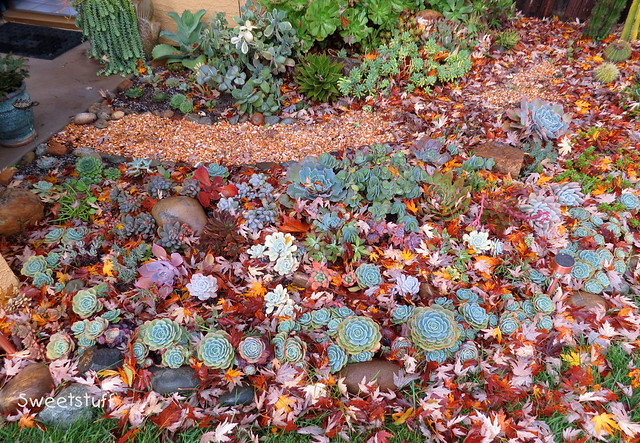 Echeveria bed covered in leaves