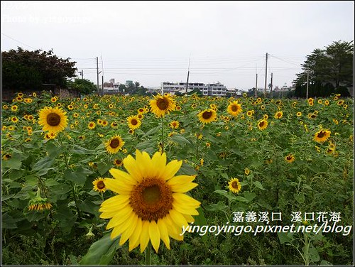 嘉義溪口_溪口花海20121209_R0010809