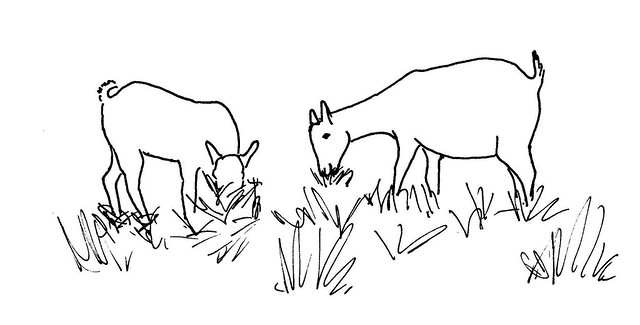 Line Drawing Goat : Line drawing of two grazing goats illustration used in