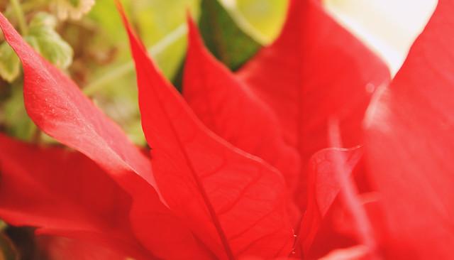 festive plants 1