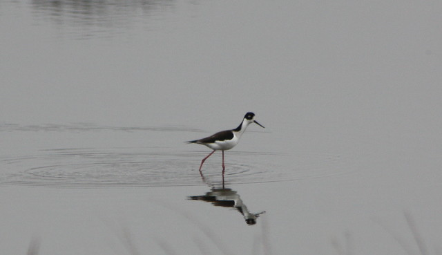 Black-necked Stilt (Himantopus mexicanus), Kent County, Delaware on 16 December 2012