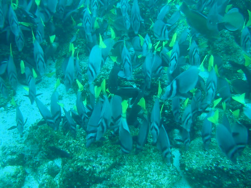 A school of fish in the Galapagos Islands