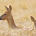 Roe Deer by PETEJLB