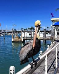 Pelícano en Bayfront Park, Miami, Florida