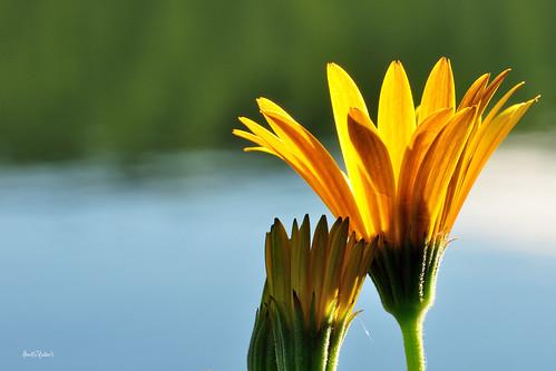 flowers sunlight macro nikon micro backlit backlighting d90 nikon85mmmicro sunsetlakenewhampshire