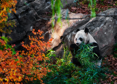 Female Giant Panda - Mei Xiang