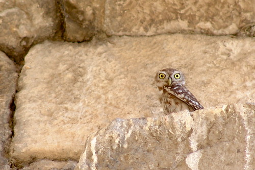 A Little Owl from Apamea by CharlesFred