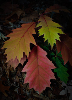 Multi Color Oak Leaves
