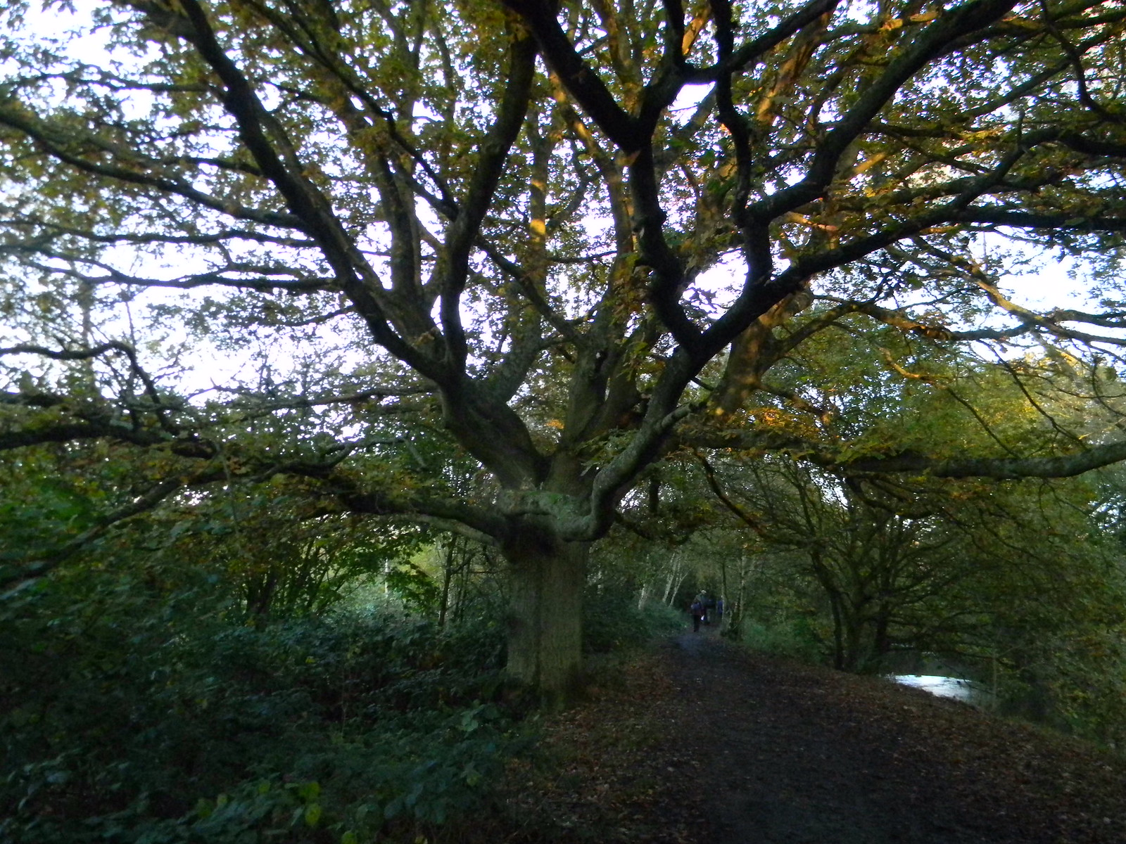 Grand old tree - Blackwater Crowthorne to Sandhurst (avoiding Eversley)