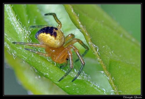Aranaeidae (Araneus diadematus ?)