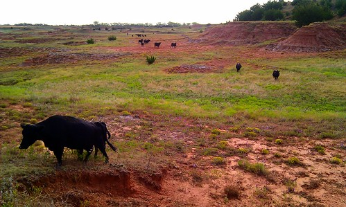 The cows like to graze on the least accessible red flats.