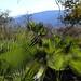 Palm leaves -  palmas cerca de Guadalupe Hidalgo, Región Mixteca, Oaxaca, Mexico por Lon&Queta