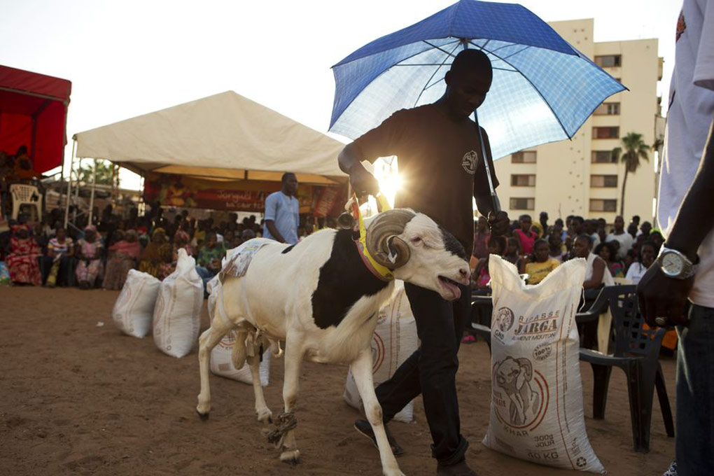 Abdou Aziz Mare uses an umbrella to protect his sheep Dogo from the sun