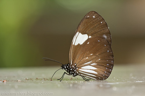 Magpie crow ( Euploea radamanthus radamanthus) IMG_3310 copy
