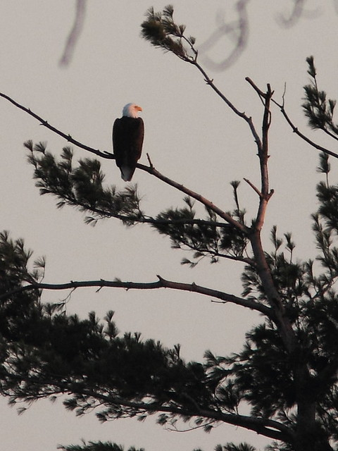 Mooseheart Bald Eagle 20121116