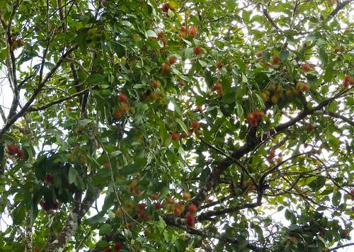 Rambutanipuu by elviina