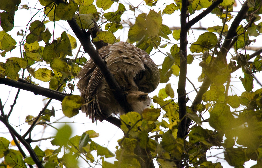 Barred Owl Preen