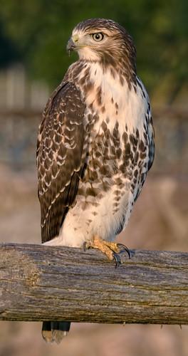bird hawk raptor redtailedhawk winterplace