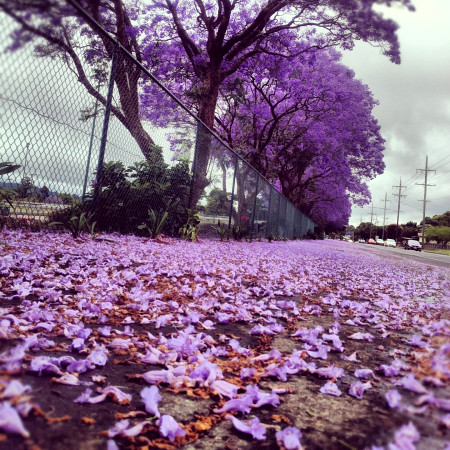 Instragram Photo: Jacarandas