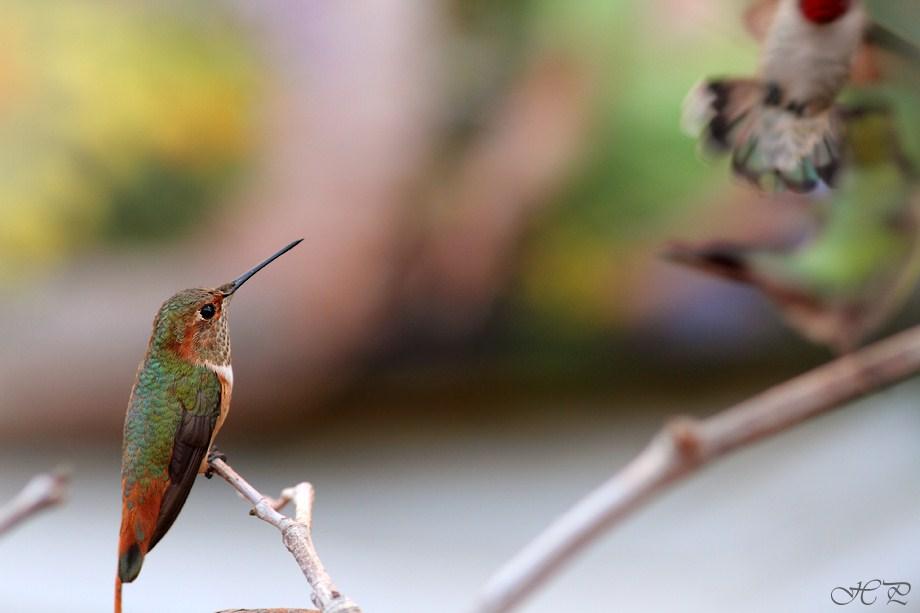 Allen's Hummingbird 112312
