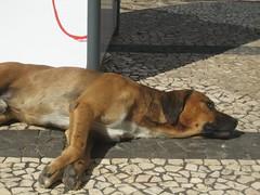 animal(1.0), dog(1.0), pet(1.0), street dog(1.0), mammal(1.0), black mouth cur(1.0),