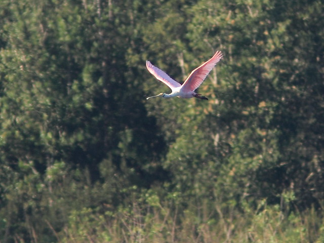 Roseate Spoonbill in flight 20121125