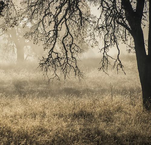 california morning autumn trees mist tree fall grass fog forest landscape merced olympus oaks mfcc catheysvalley 40150 mercedcounty treesdiestandingup hornitosroad
