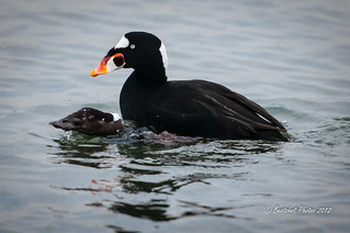 Busy but happy Surf Scoters