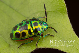 Shield-Backed Bug (Chrysocoris stollii) - IMG_7340