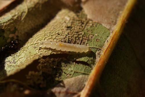 Phyllonorycter platani larva ex leaf mine