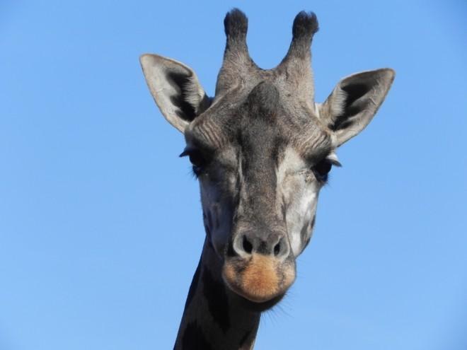 11-30-2012_Giraffe